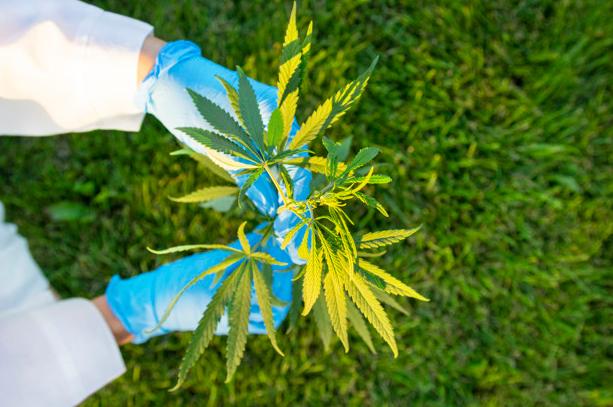 نص قانون رقم ١٧٨ - الترخيص بزراعة نبتة القنب للاستخدام الطبي والصناعي
